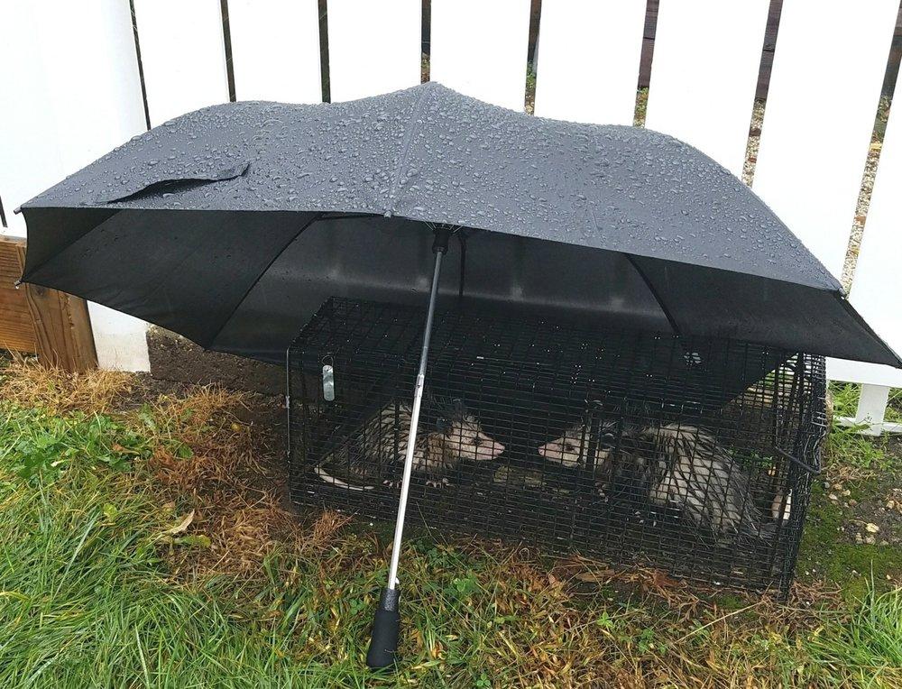 rainy possum.jpg
