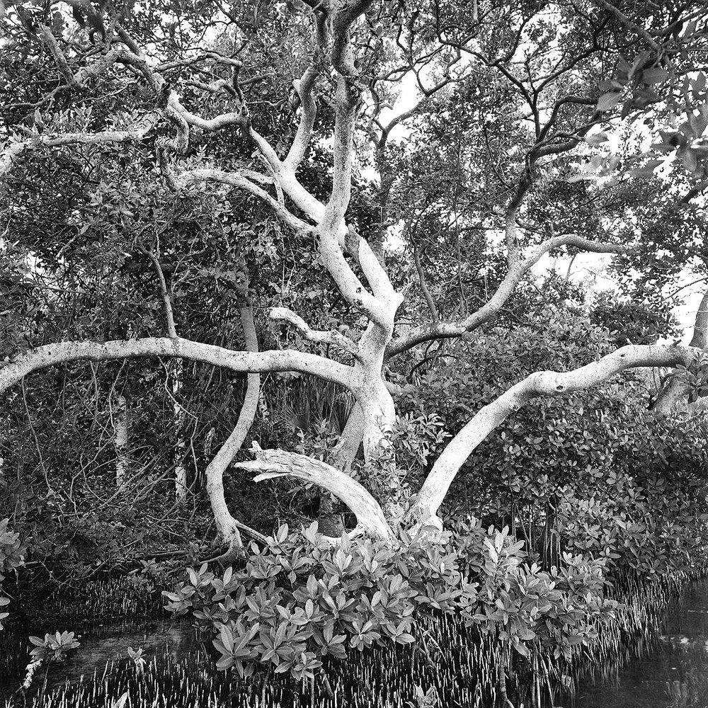Black Mangrove Trees, Fort DeSoto