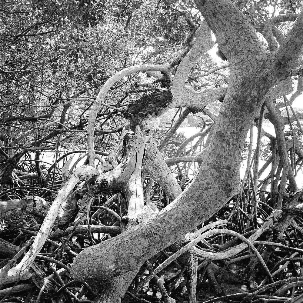 Mangroves and Bayou, Mullet Key