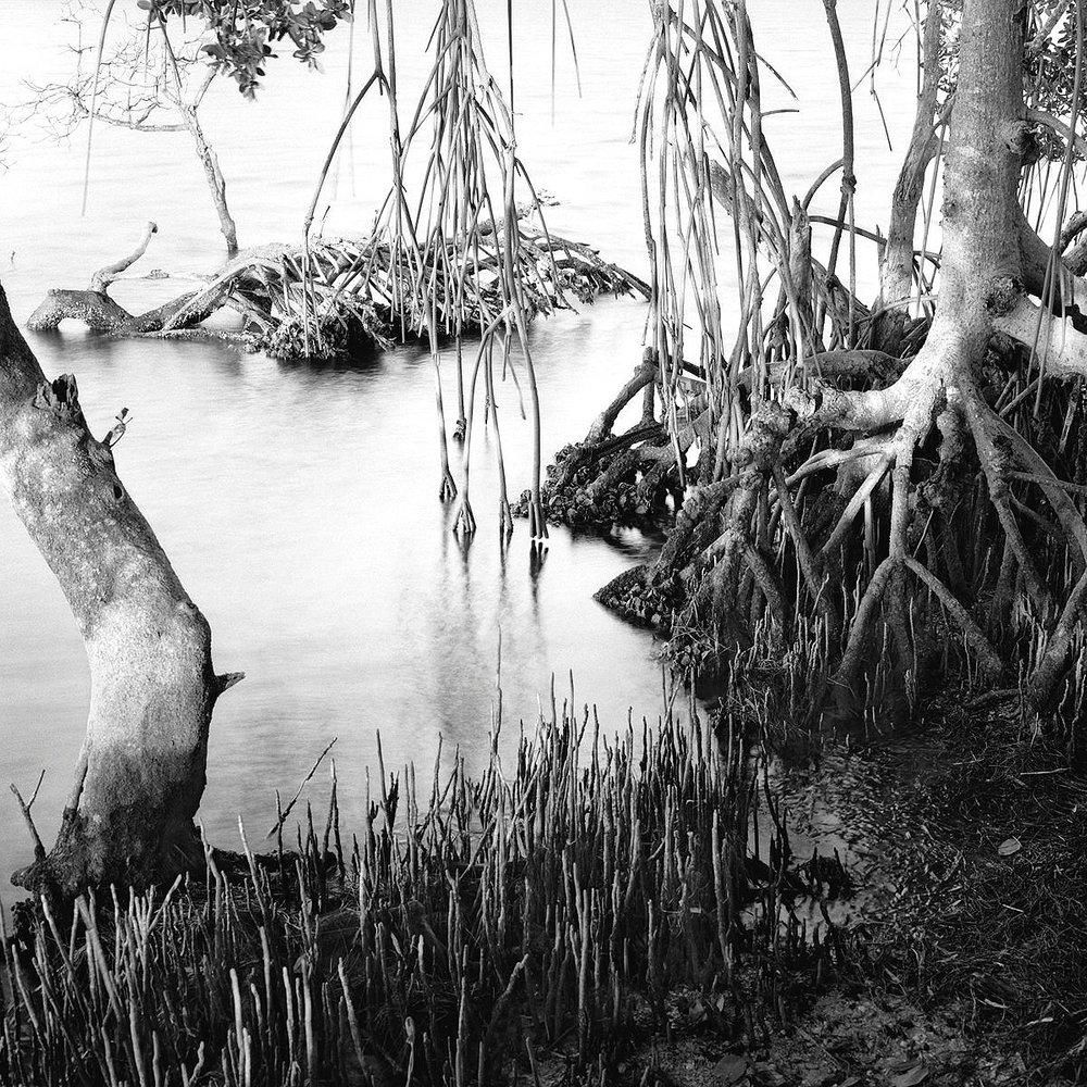 Black & Red Mangroves, Ft. DeSoto
