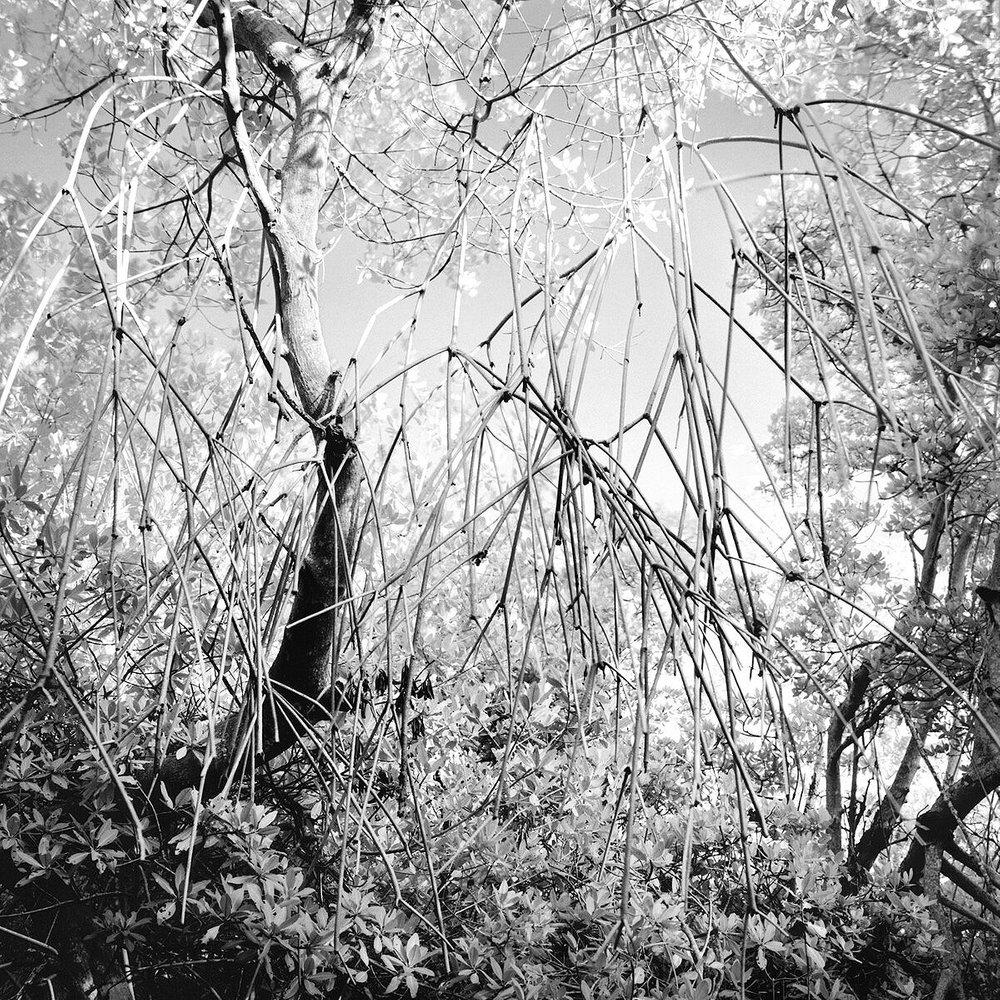 Red Mangroves, No Name Key