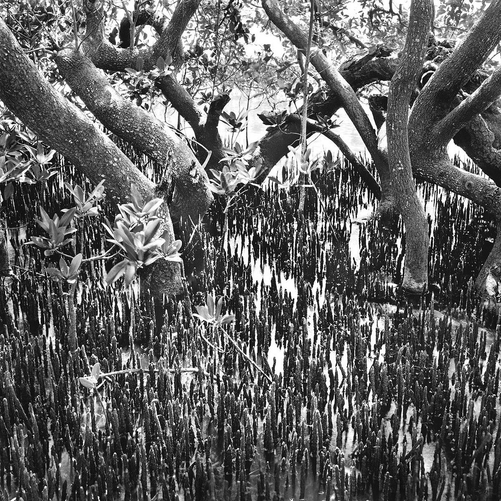 Black Mangrove Roots & Trunks, Mullet Key
