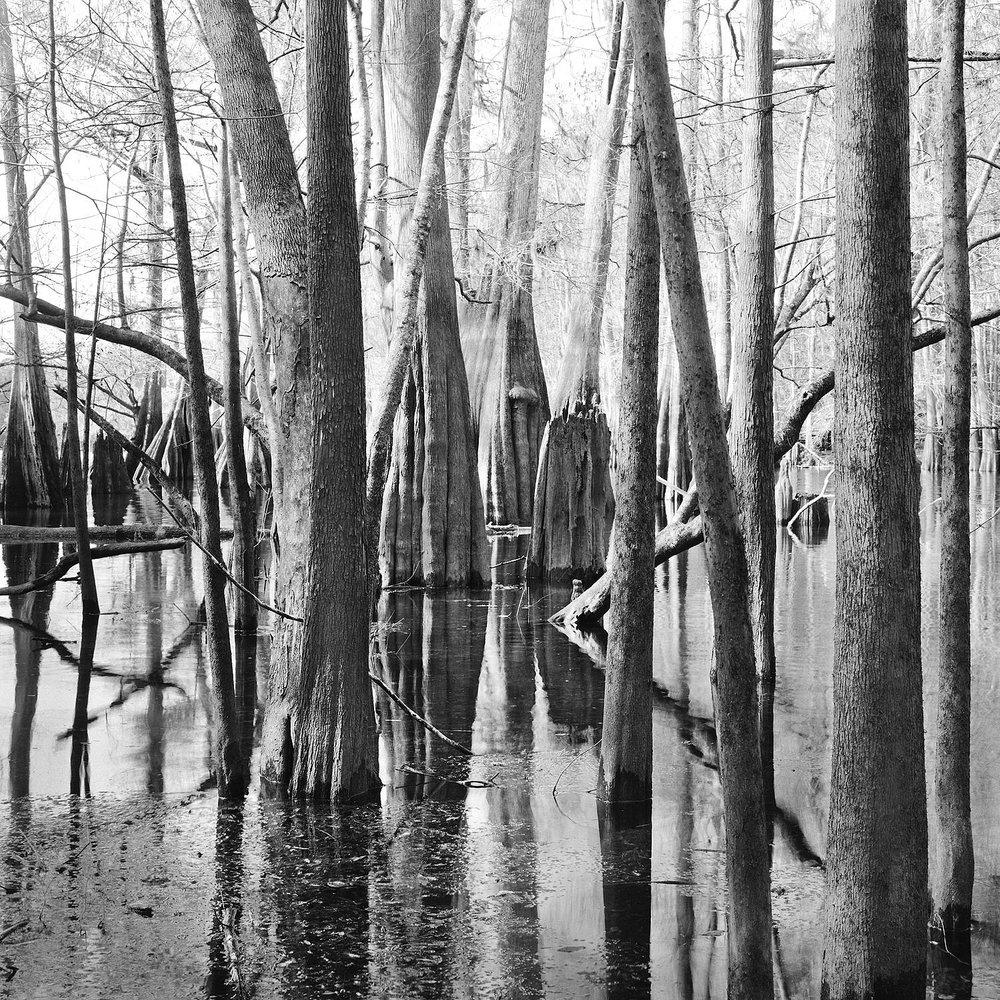 Cypress Trees, Santa Fe River