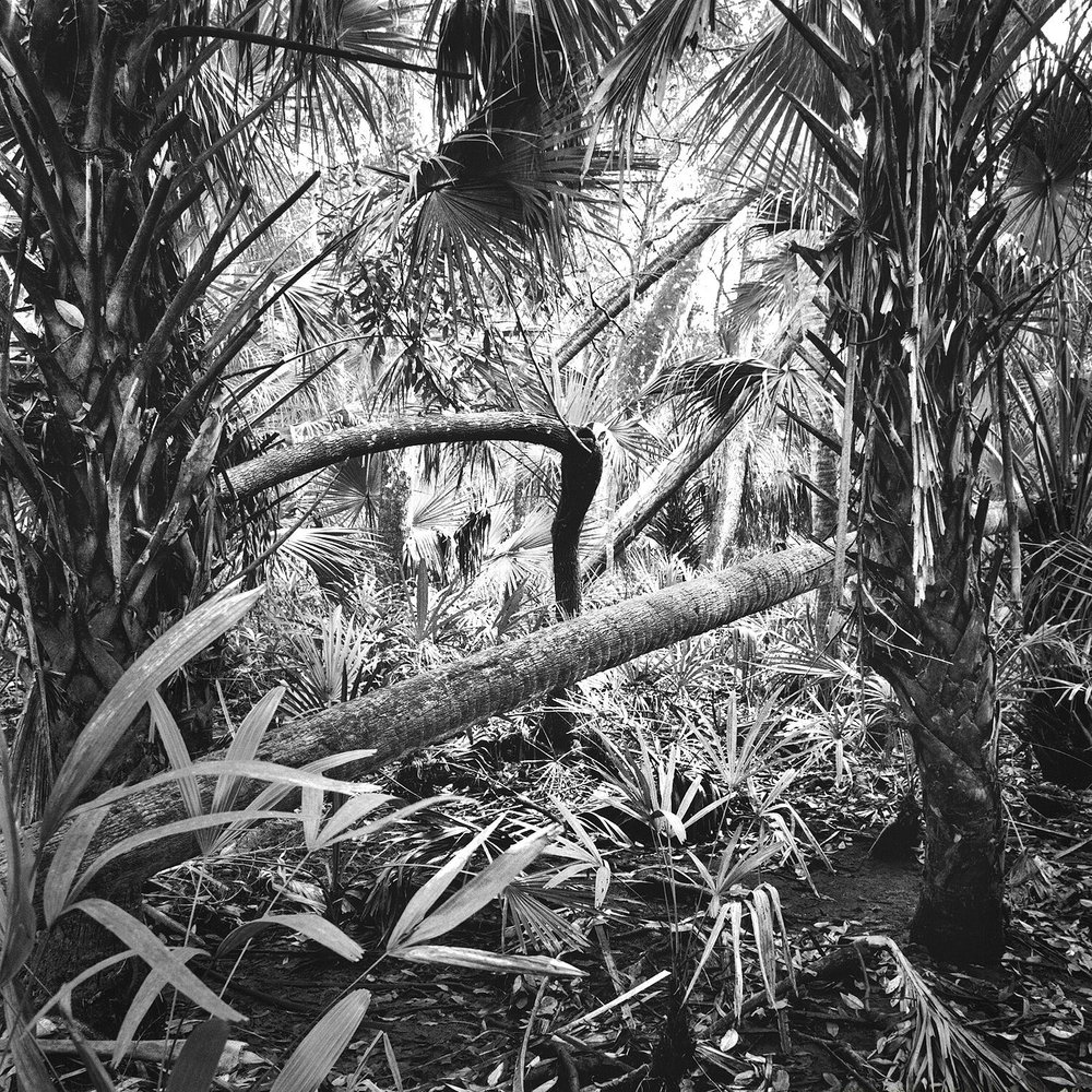 Palms & Fallen Trees, Chassahowitzka NWR