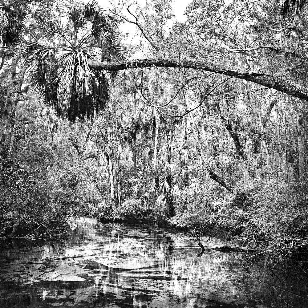 Leaning Palm, Chassahowitzka N.W.R.