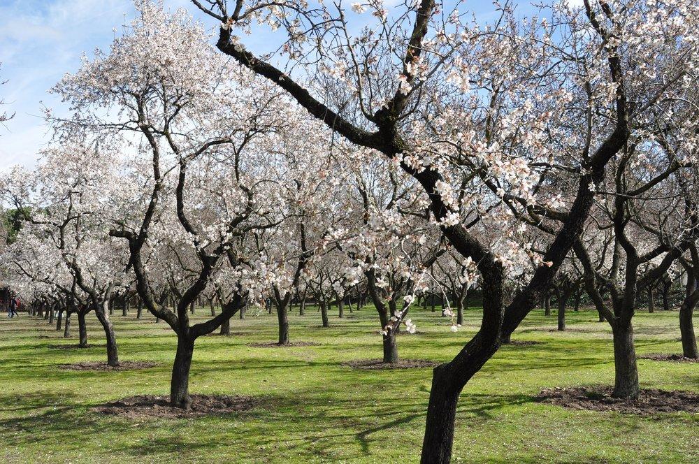 almond-trees-680725_1920.jpg