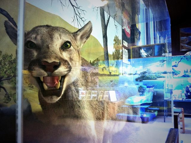 Photo of a taxidermy specimen of a cougar in a display case inside an interpretive museum
