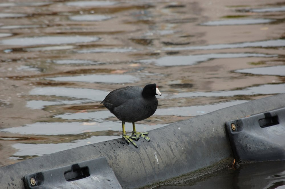 Photo of an American coot, a black bird with a white bill, standing on a black barrier in the water