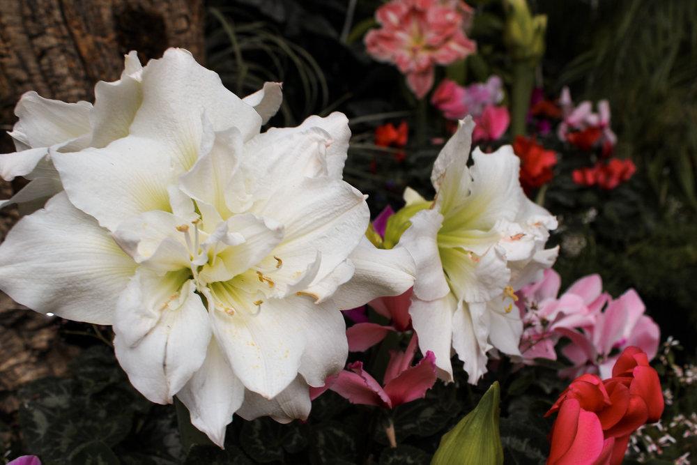 Allan Gardens Conservatory flowers.jpg