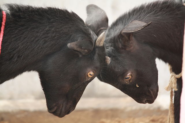 """Love your enemy!This photo """"Goats Butting Heads"""" is copyright (c) 2011 by  Mohanatnow and made available by  Creative Commons  Attribution-Share Alike 3.0 Unported license."""