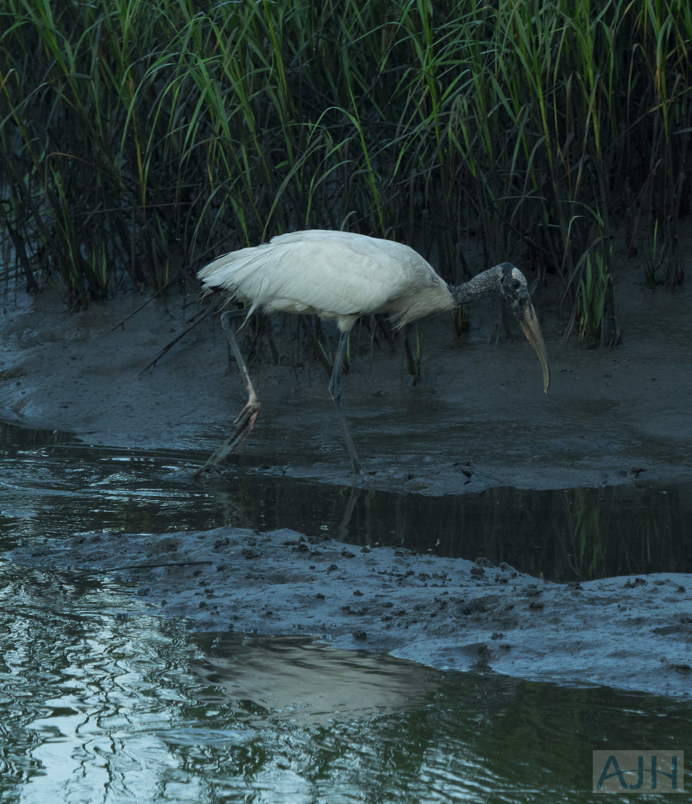 A wood stork ( Mycteria americana ), foraging in the marsh  mud.