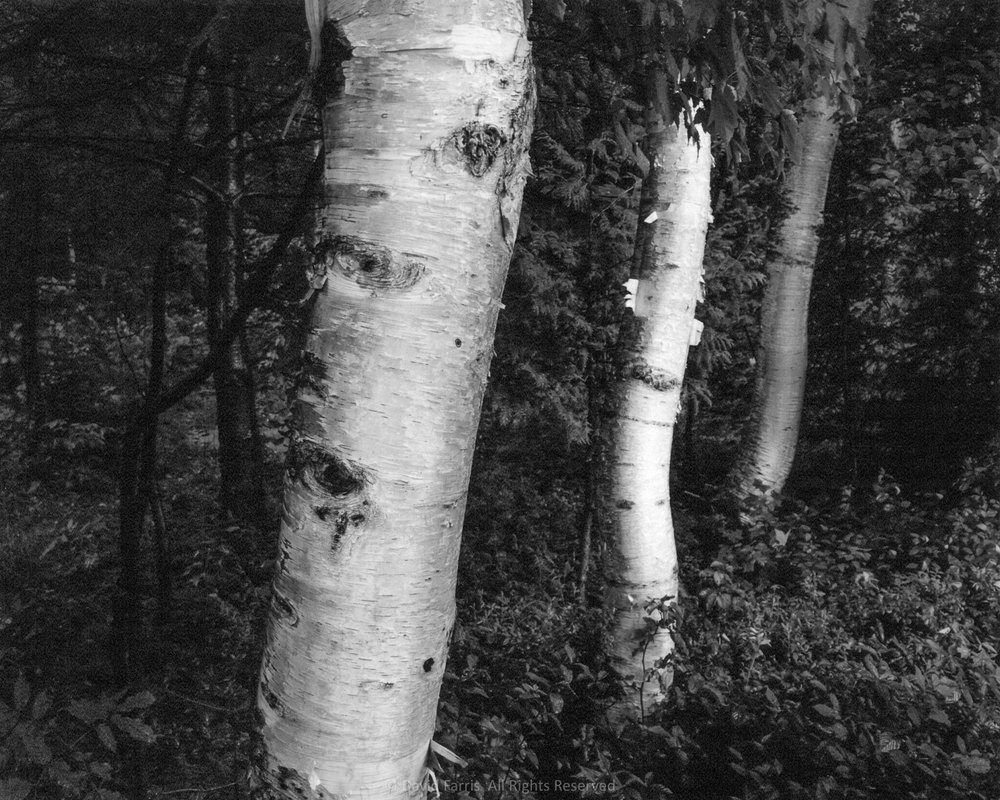 Three Birches, Shin Pond, Maine