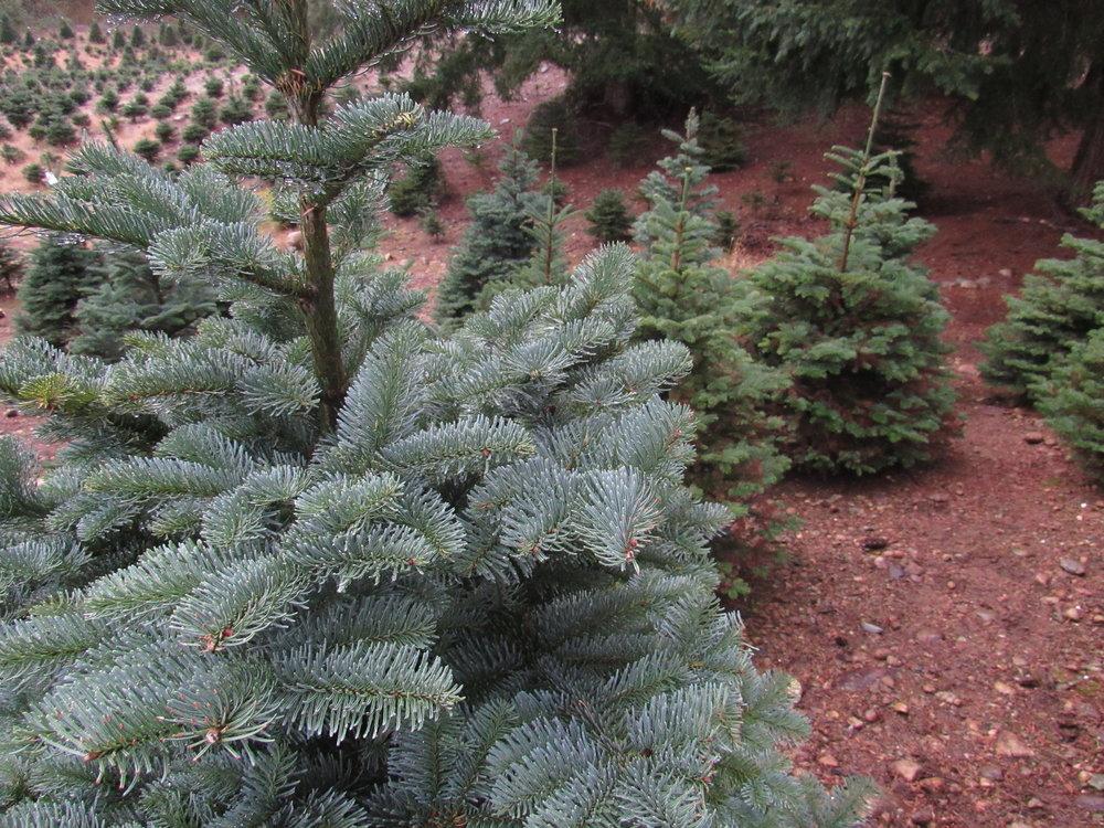 Trinity Tree Farms: Christmas Trees!