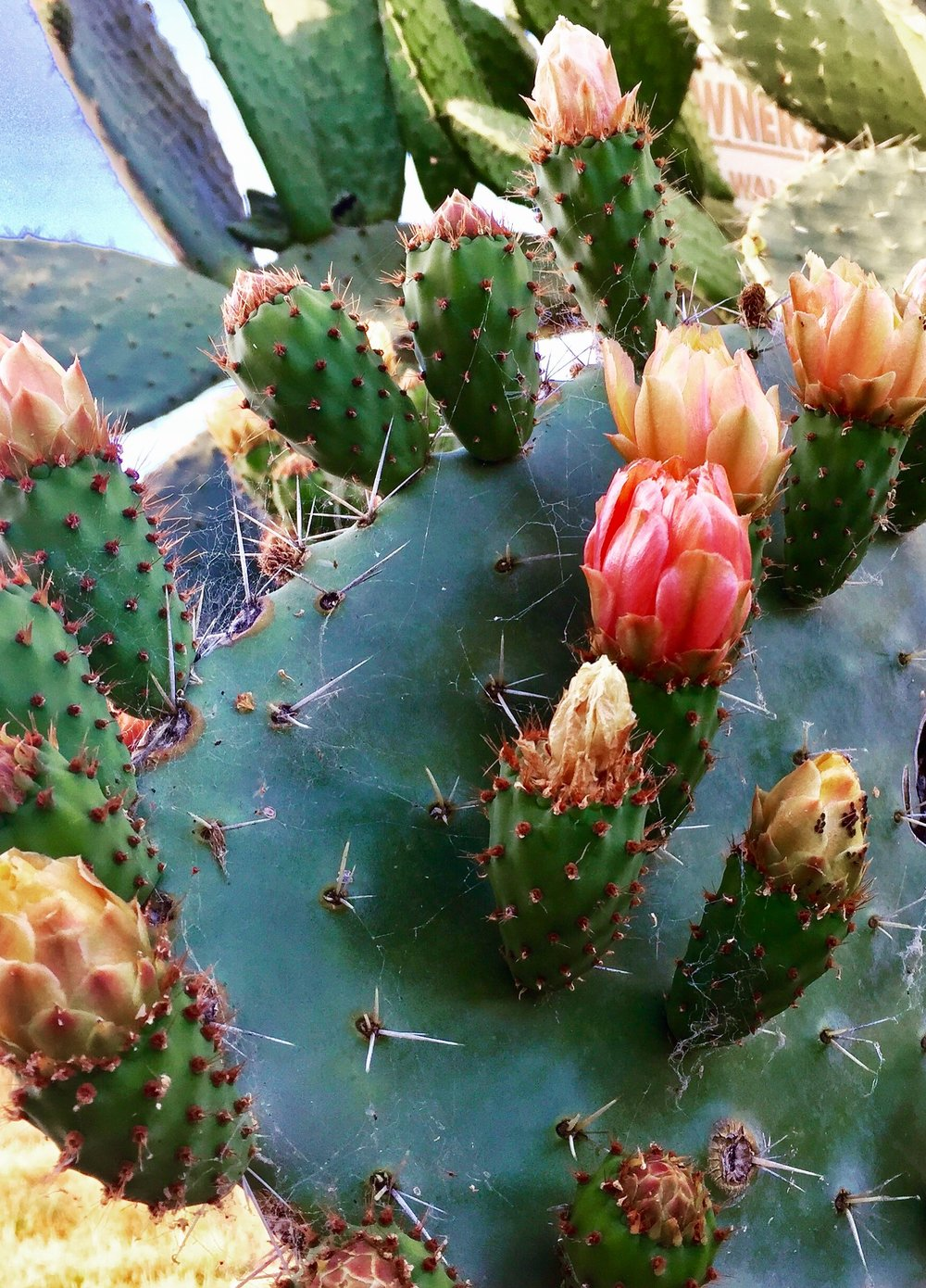 Blossoms from Prickly Pear Cactus