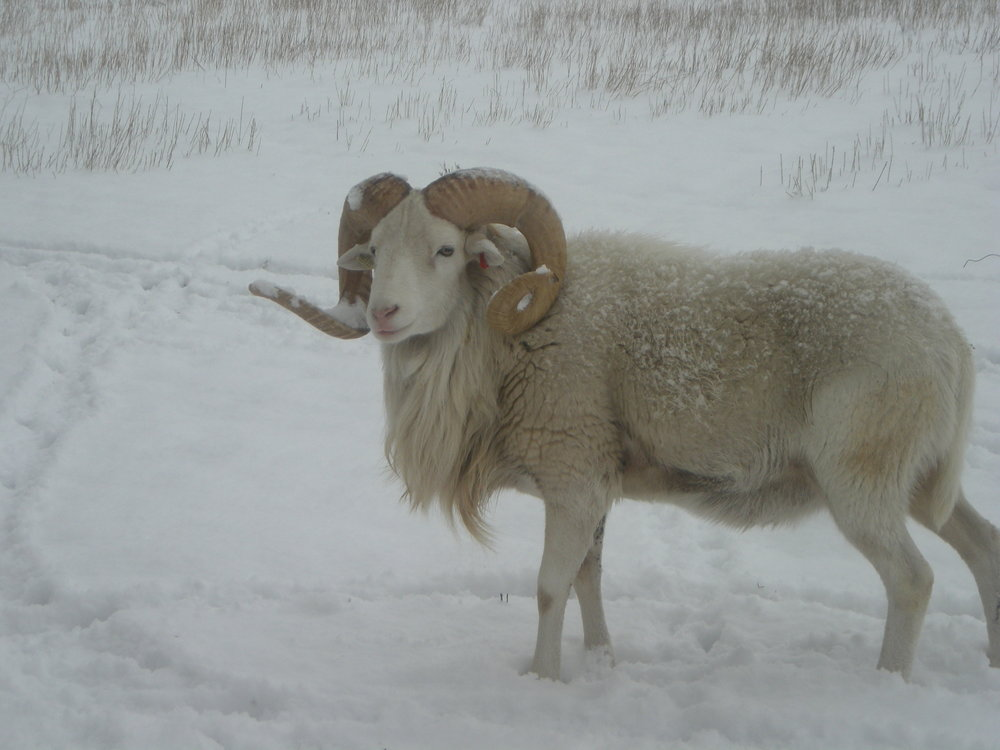 Dahl sheep have horns as ewes and rams, similar to the Rocky Mountain Big Horn Sheep.