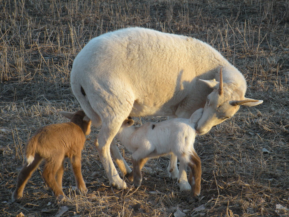 New Mexico Dahl ewes and a set of twins on the Terre Patre farm.