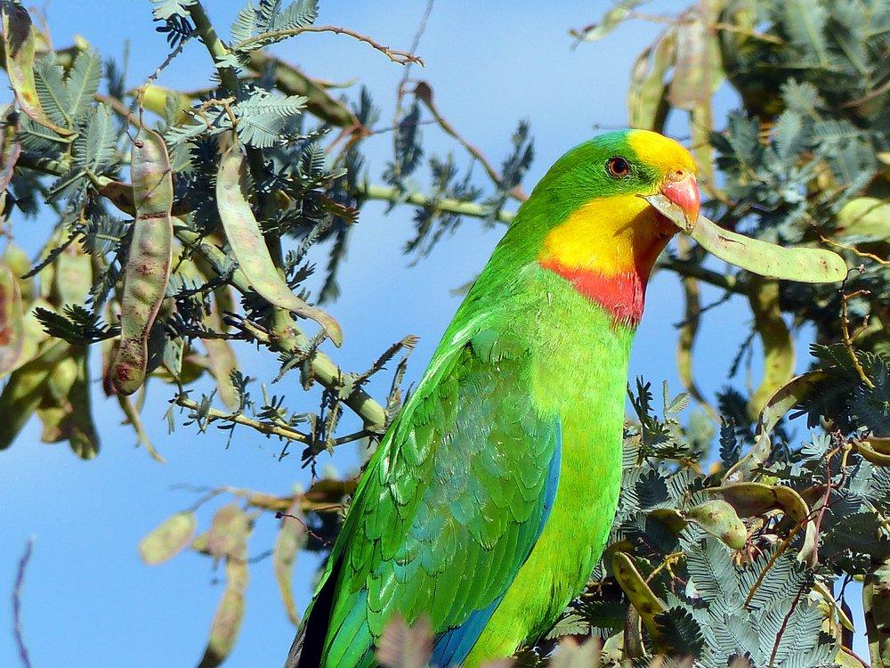 A Superb Superb Parrot