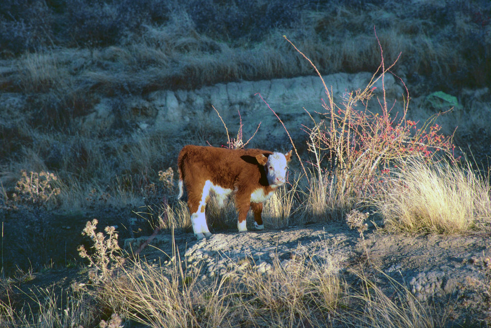 Hereford Calf Welcoming His World
