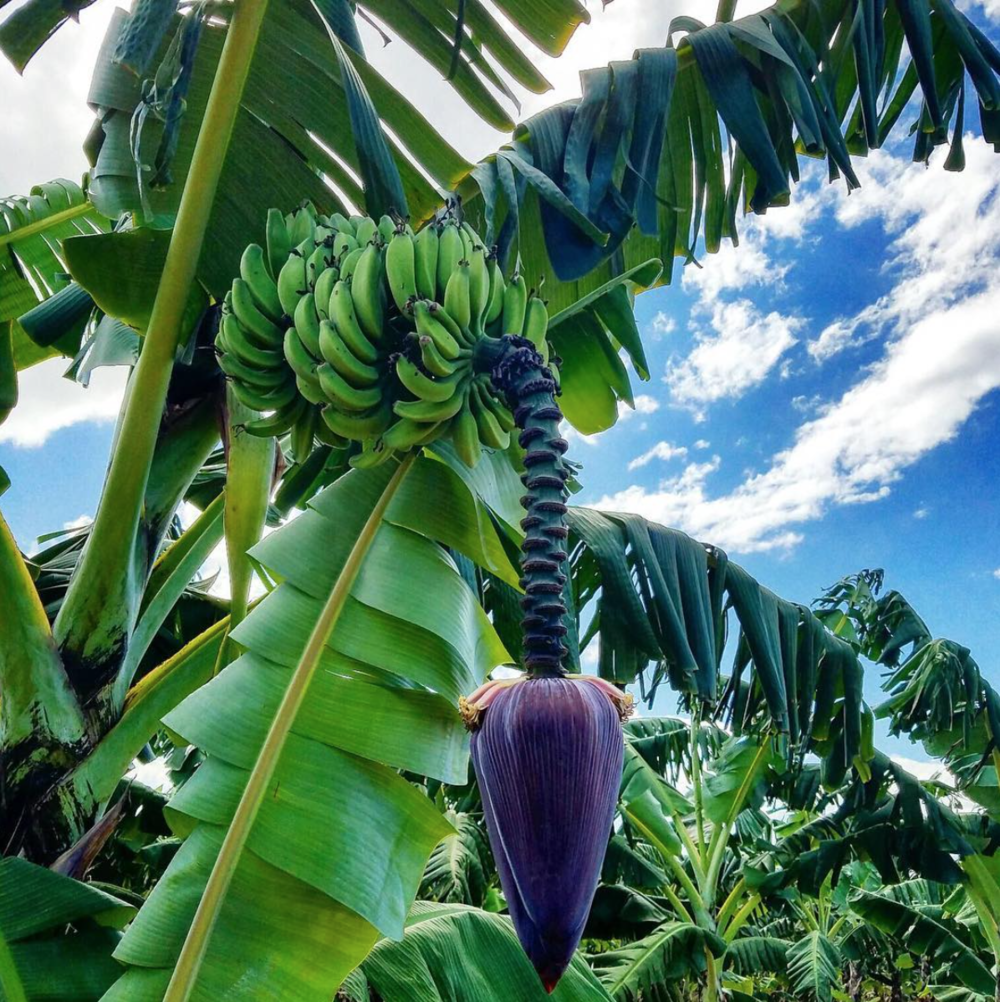 bananas straight from nature.png