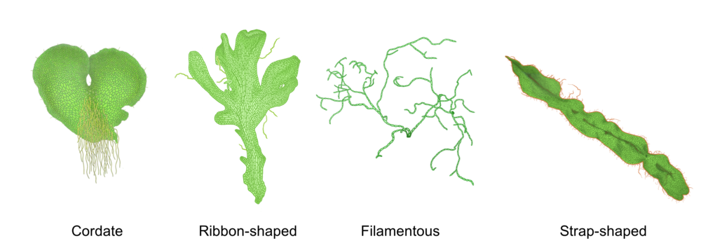 Figure 7. Various morphologies of fern gametophytes (from Pinson et al., 2017 and  Paul K ).