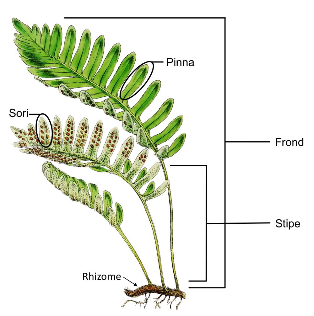 Figure 2. Selected anatomical traits of ferns. Species represented is  Polypodium remotum  Desv., illustrated in Garden Ferns (1862) by William Hooker.