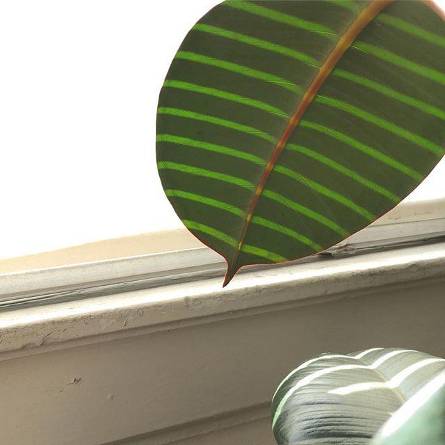 ☀️🌿 #sunlight on #leaf inspired @sarahillenberger #wonderplant . . . #nature #reflection #plants #plant #beauty #minimal #stripe #stripes #blinds #blind #sun #sunny #inspiration #beauty #beautyofnature