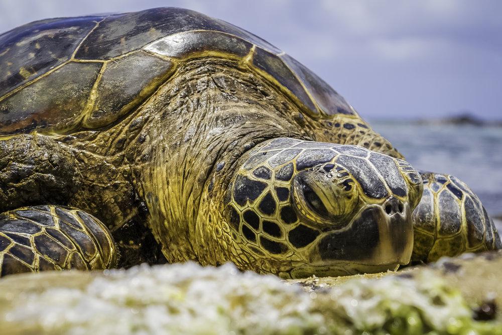 ECU turtle.jpg