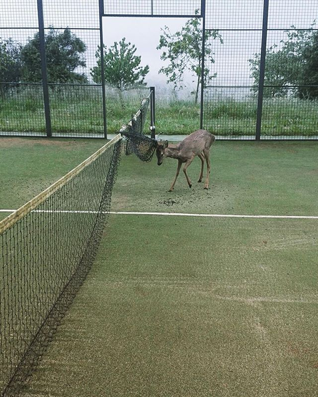All players welcome - and Bambi's too. At Private Parts we have many activities including Padel Tennis - originally from Argentina and a cross between tennis and squash. A bit of a foggy day but this court boasts an extraordinary view over the bay of Santander.  #bambi #tennis #spain #santander #cantabria #luxurylifestyle #sport
