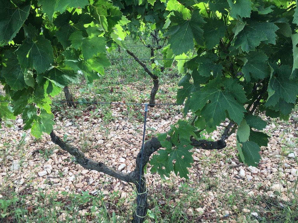 Primitivo vine