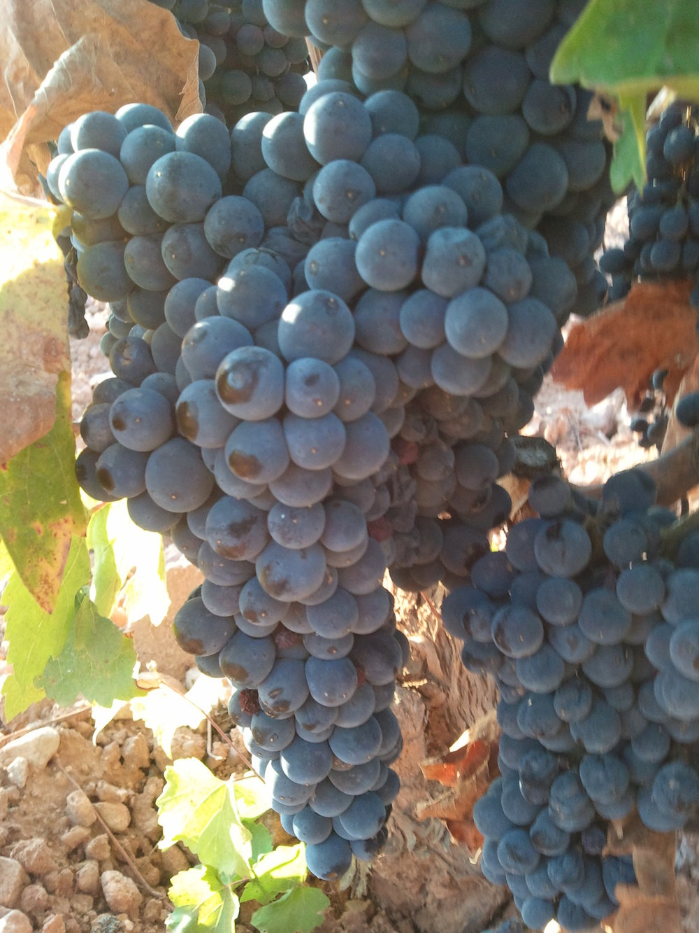 Garnacha Grape Bunches