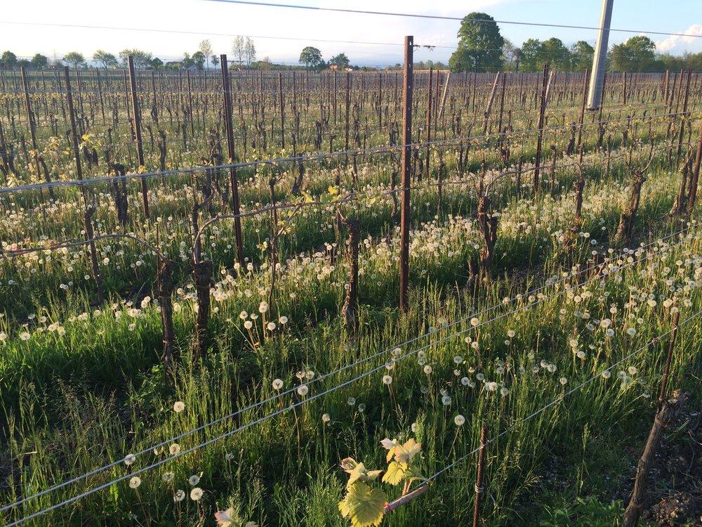 Organic Pinot Grigio Vineyard