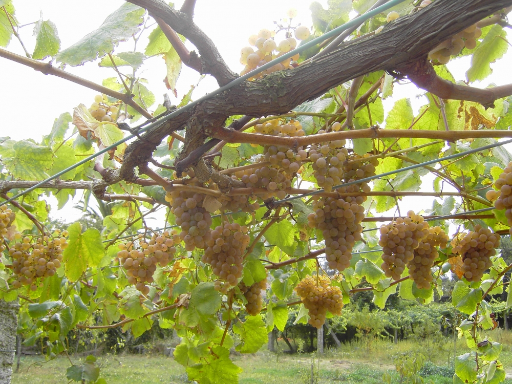 Albarino Grape Bunches