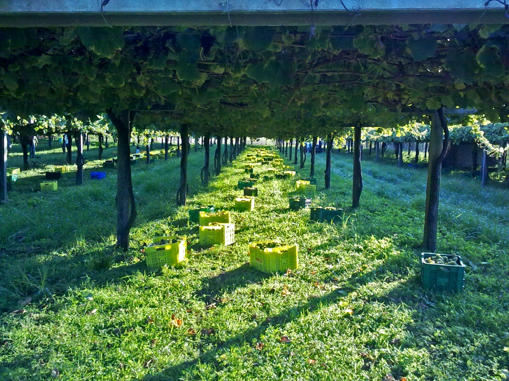 Albarino Pergola Vineyard