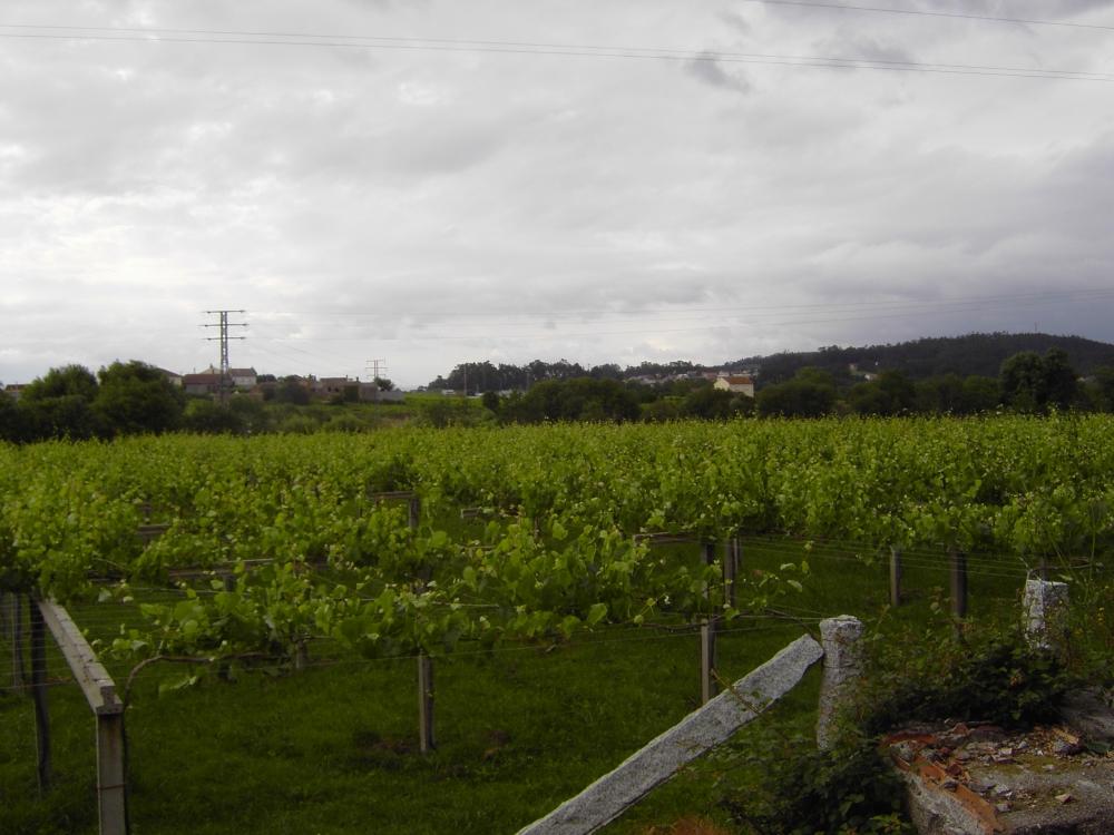 Albariño vineyard