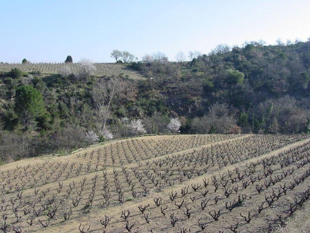 Rancy - Old Vine - Carignan Vineyard.jpg