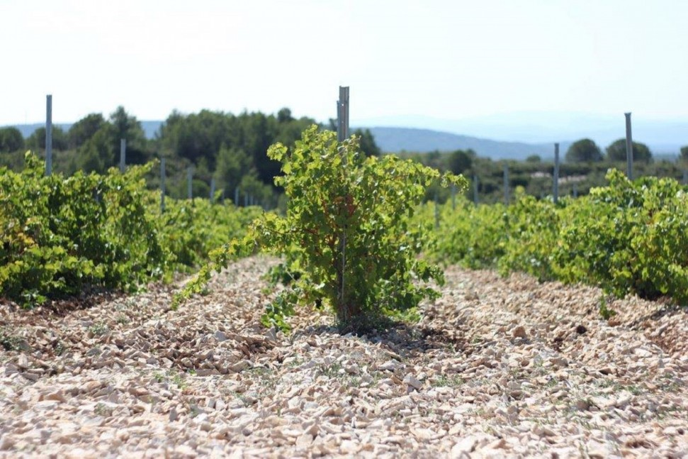 Coupe-Roses-Syrah-on-Limestone-e1466684907910.jpg