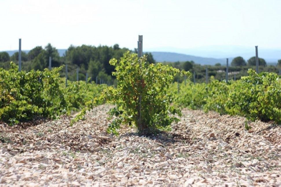 Coupe-Roses-Syrah-on-Limestone-e1466684907910.jpg