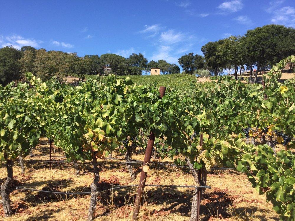 Cote des Cailloux Vineyard