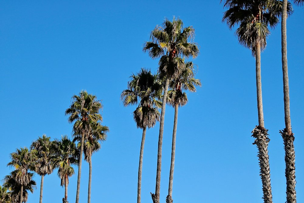 Palms in Santa Cruz