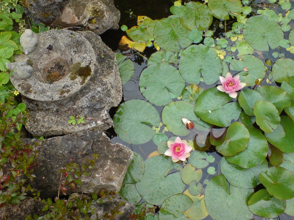 Water lilies 2.JPG