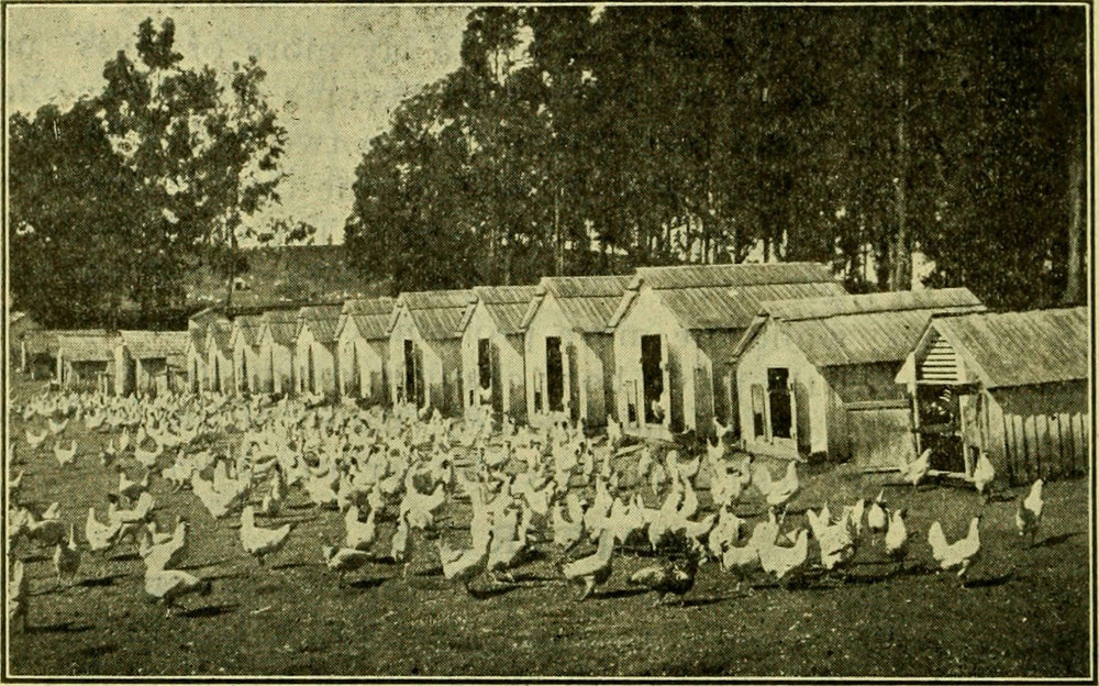 "Showing the ""colony system"" of housing hens much used at Petaluma."