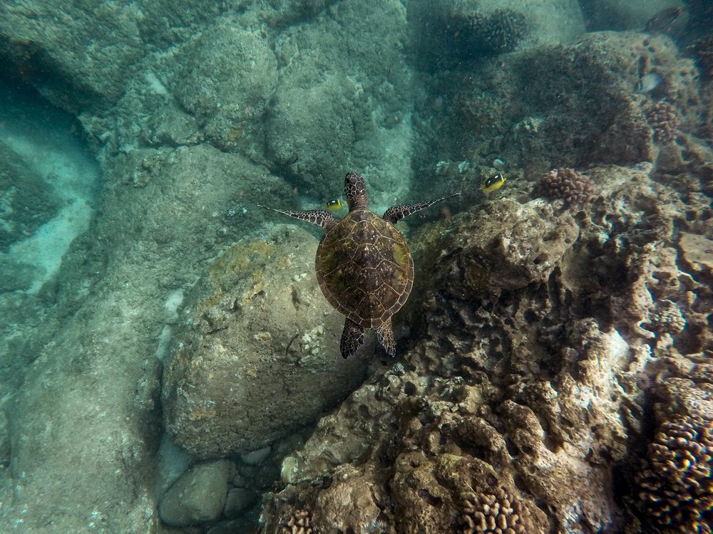 snorkel-tours-maui-hawaiian-sea-turtle