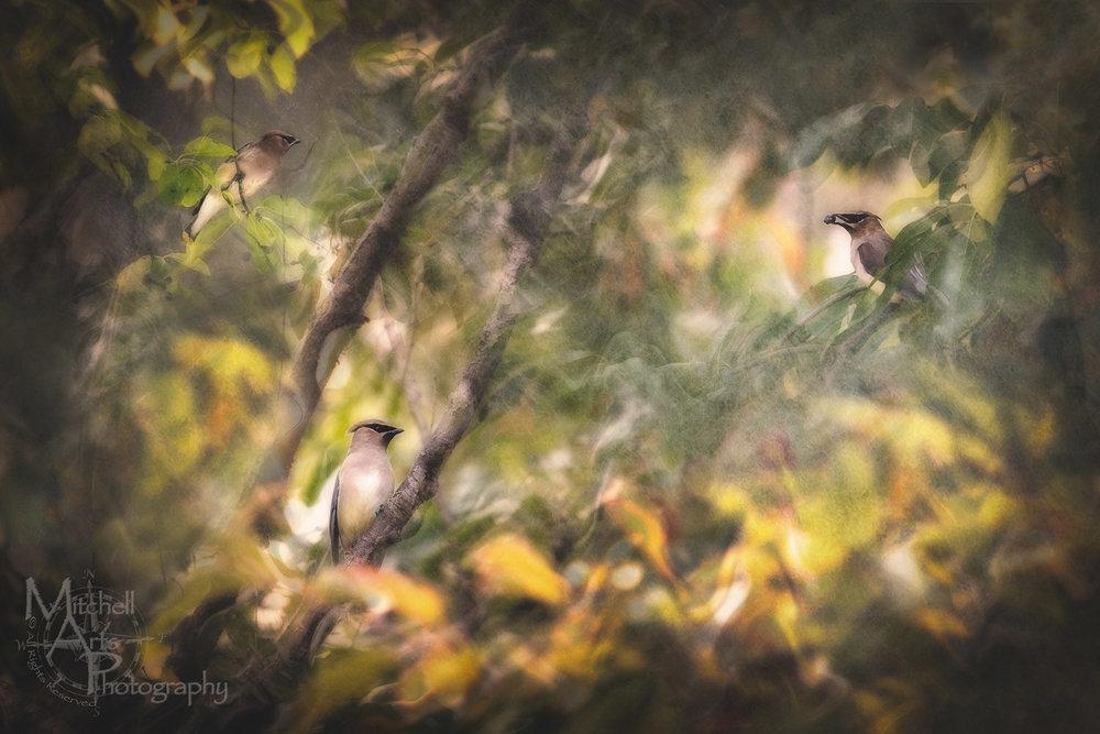 Surreal Cedar Waxwings.jpg