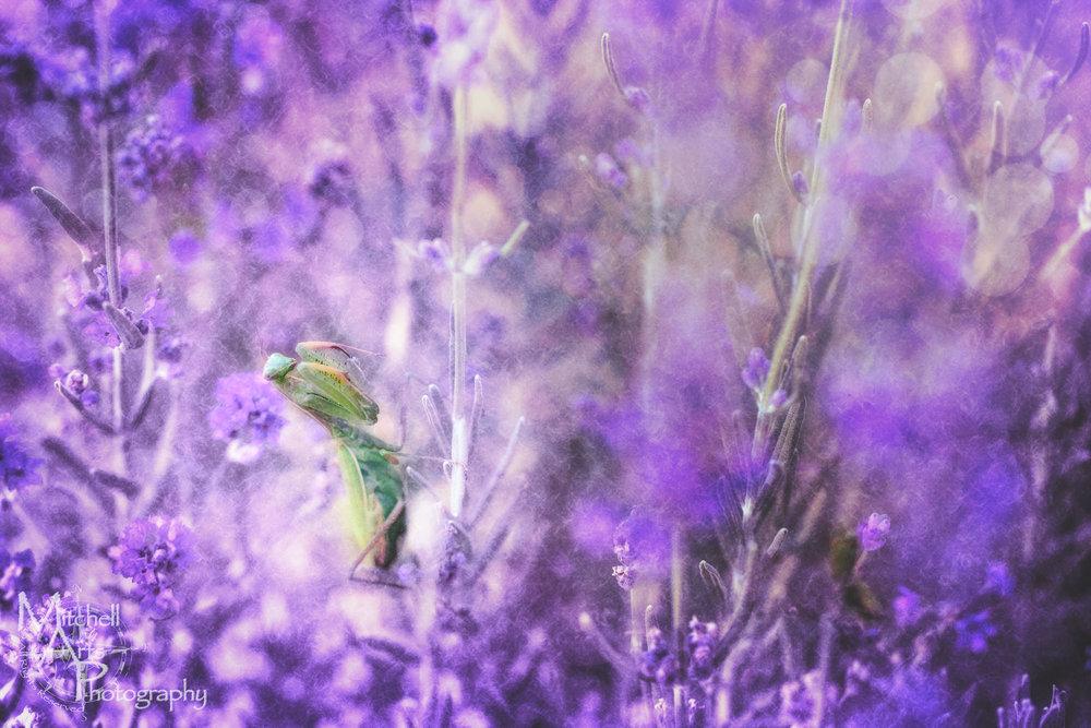 Surreal Mantis.jpg
