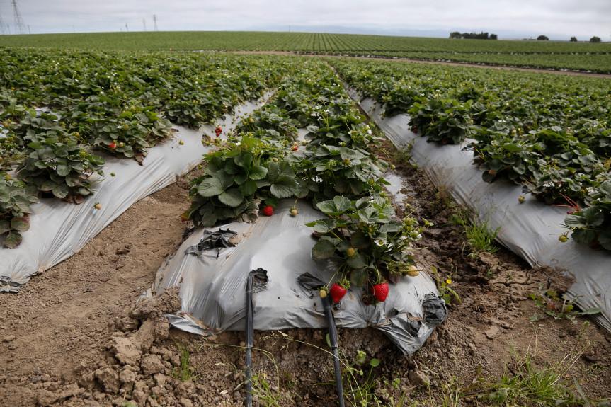 Hillside berry farms trigger erosion, speed flooding on central coast - With Sarah Derouin,for San Jose Mercury News (Dec. 2, 2017)Image credit:Patrick Tehan