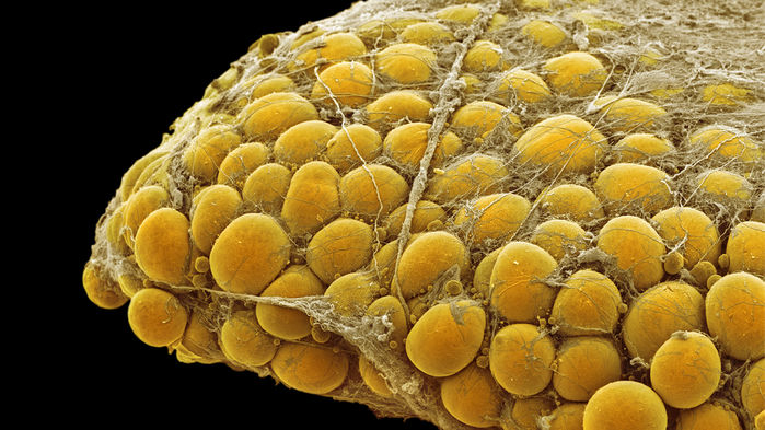 Fat tissue can 'talk' to other organs, paving way for possible treatments for diabetes, obesity - For Science(Feb. 16, 2017)Image credit:Steve G Schmeissner/Science Source