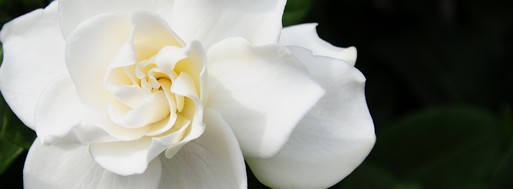 Gardenia-Banner2.png