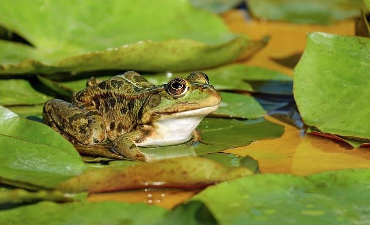 frog on lilypad.jpg