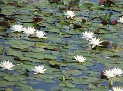 water lillies.jpg