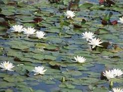 water lillies.jpg